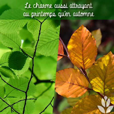 charme arbuste