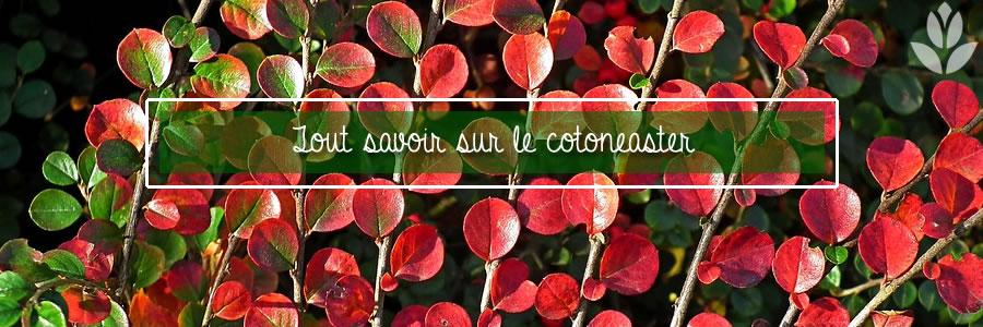 tout savoir sur le cotoneaster