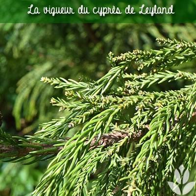 cyprès de leyland