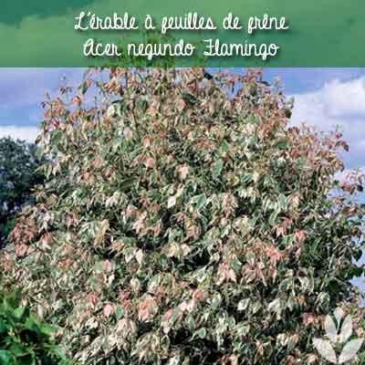 érable à feuilles de frêne