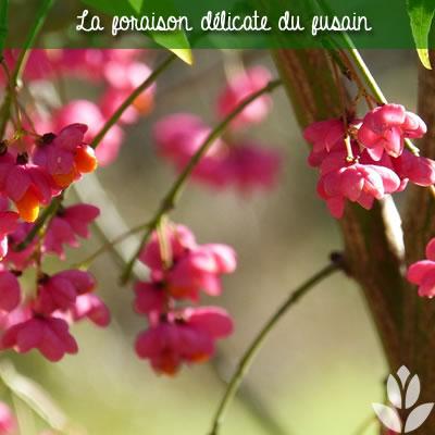 fusain floraison