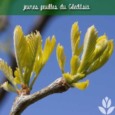 gleditsia jeunes feuilles