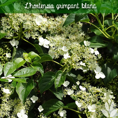 hortensia grimpnat blanc