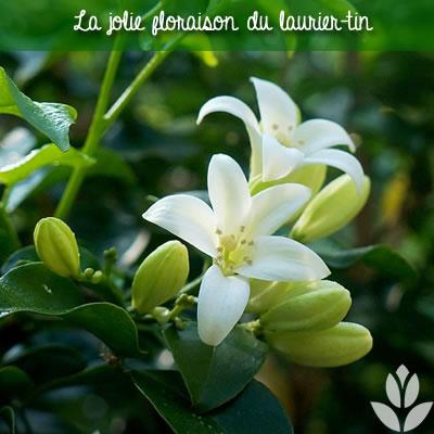 floraison blnache du laurier-tin
