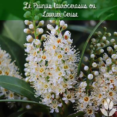 laurier cerise prunus laurocerasus