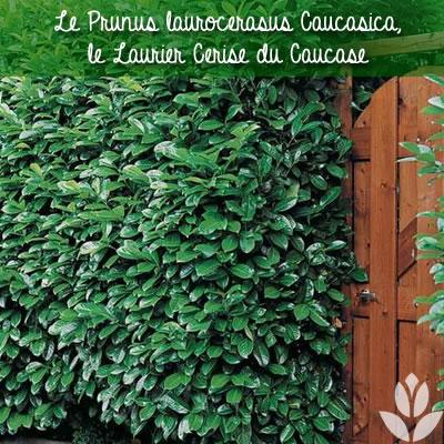 laurier cerise prunus aurocerasus caucasica
