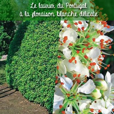 floraison du Laurier du Portugal