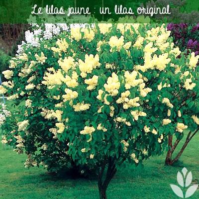lilas jaune