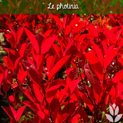 photinia feuillage persistant