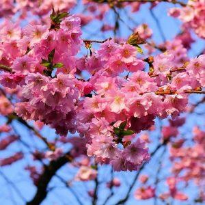 la floraison des prunus