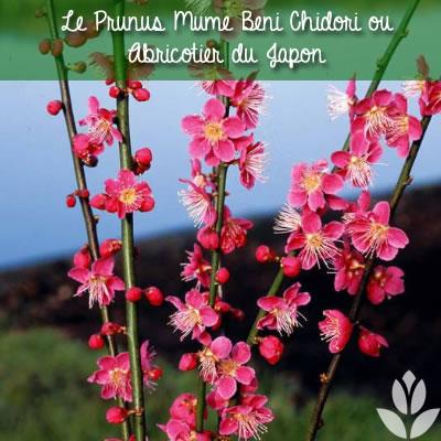 prunus mume beni chidori abricotier du japon