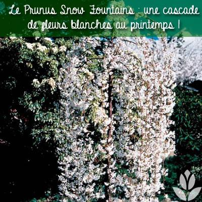 prunus snow fountains