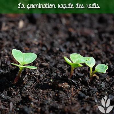 germination des radis