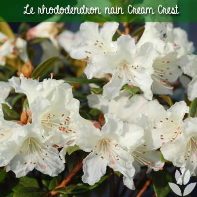 rhododendron nain cream crest
