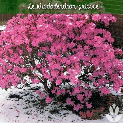 rhododendron précoce