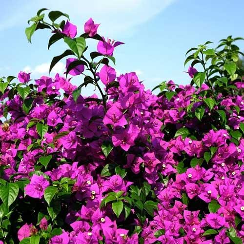 arbuste de plein soleil bougainvillier