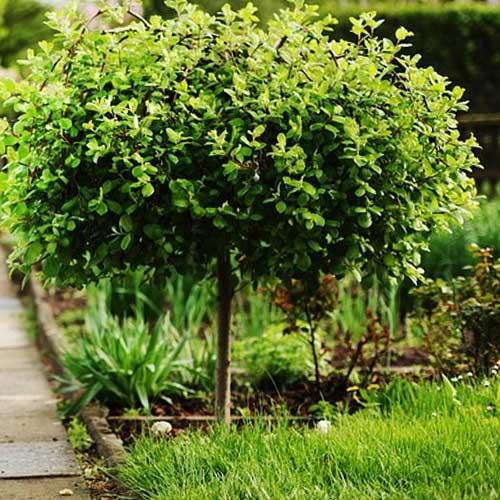 arbuste petit jardin