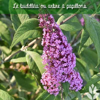 buddleia arbre à papillons