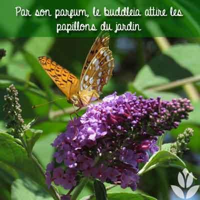 buddleia parfum