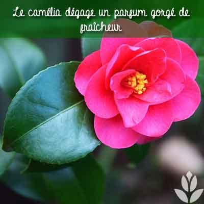 camelia parfum