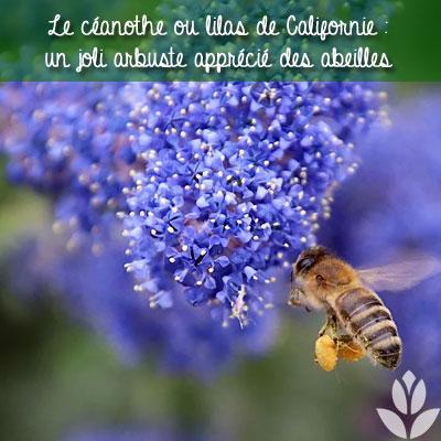 céanothe et abeille