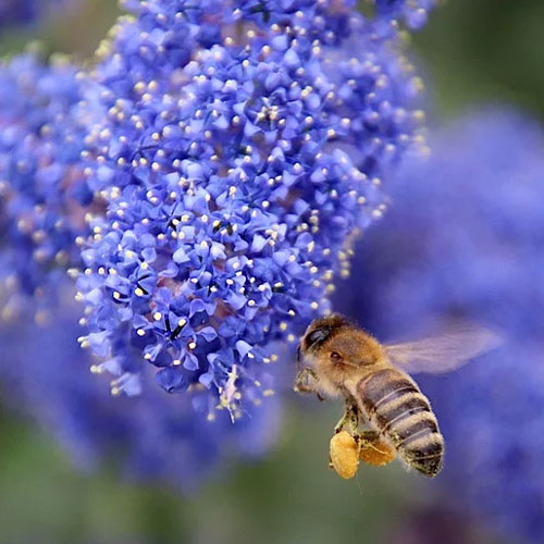 les fleurs de céanothe attirent les abeilles