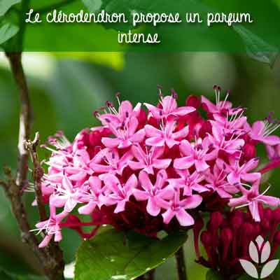 clerodendron parfum