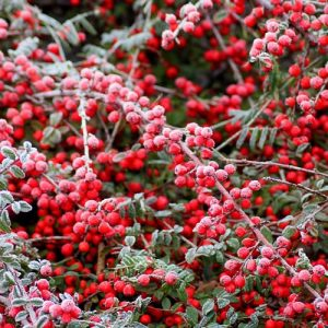 cotoneaster givre