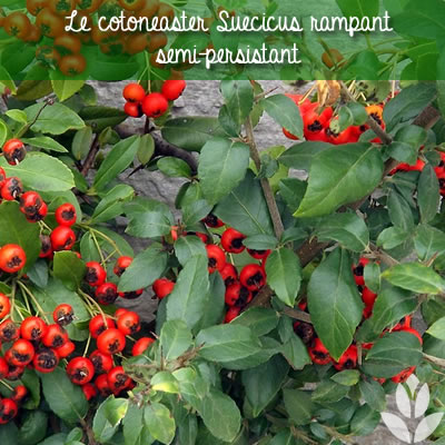 cotoneaster suecicus rampant