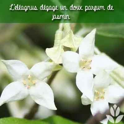eléagnus parfum
