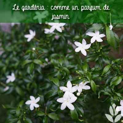gardenia parfum jasmin