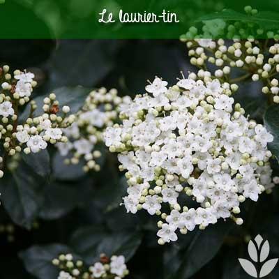 laurier-tin fleurs