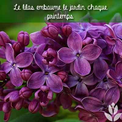 parfum du lilas