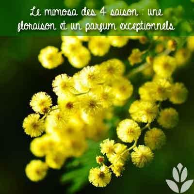 mimosa parfum