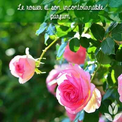 rosier parfum