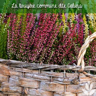 bruyère commune caluna