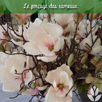 forcage des rameaux de magnolia