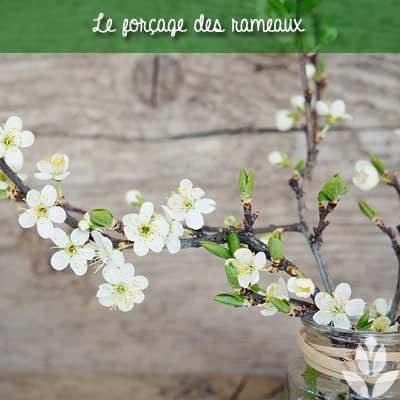 forcage des rameaux de prunus