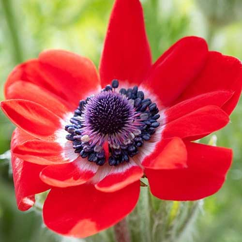 anémone rouge fleur