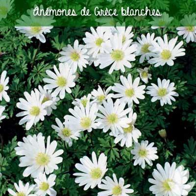 anémone sainte brigitte blanches