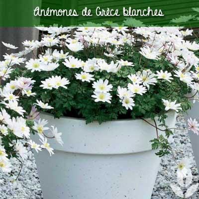 anémones sainte brigitte blanche en pot