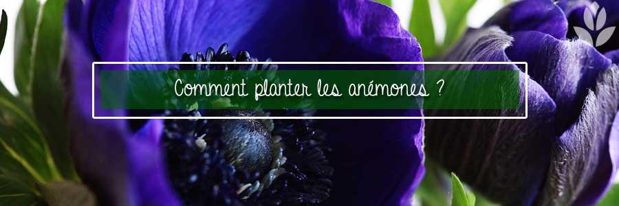 comment planter les anémones