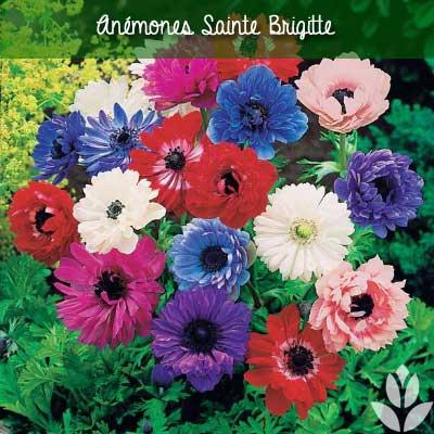 anemones sainte brigitte