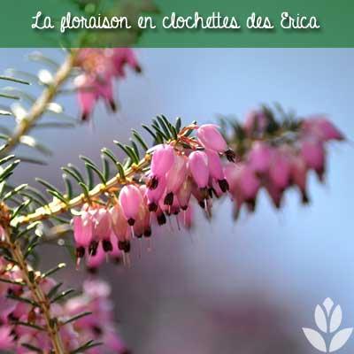 floraison en clochettes des bruyères Erica