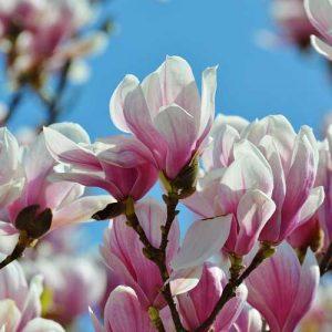 6 magnolias pour le jardin