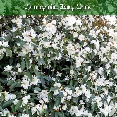 magnolia fairy white