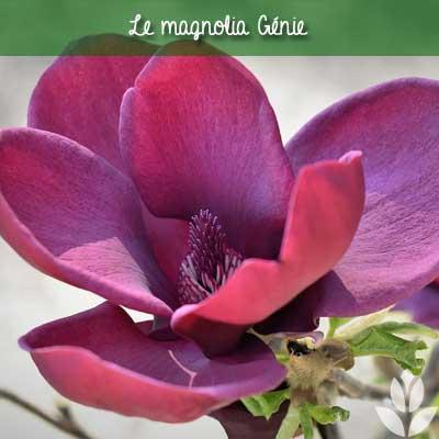 magnolia genie arbuste