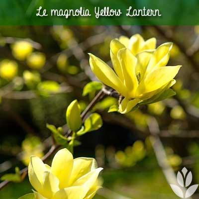 magnolia yellow lantern arbuste