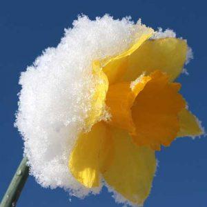 narcisse botanique sous la neige