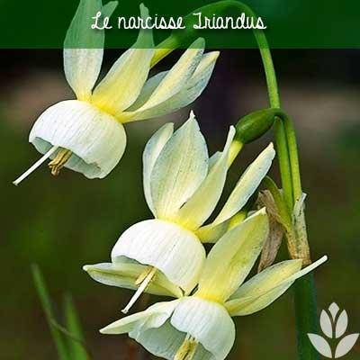 narcisse triandrus